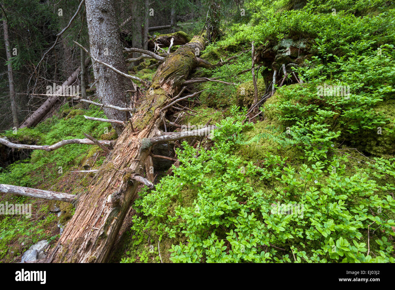 Primeval forest, forest, Scatlé, Switzerland, Europe, canton, Graubünden, Grisons, Surselva, trees, spruces, - Stock Image