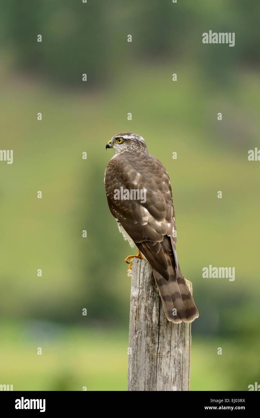 European Sparrow Hawk, Accipiter nisus, Accipitridae, raptor, bird of prey, bird, juvenile, animal, Obergoms, Canton, - Stock Image