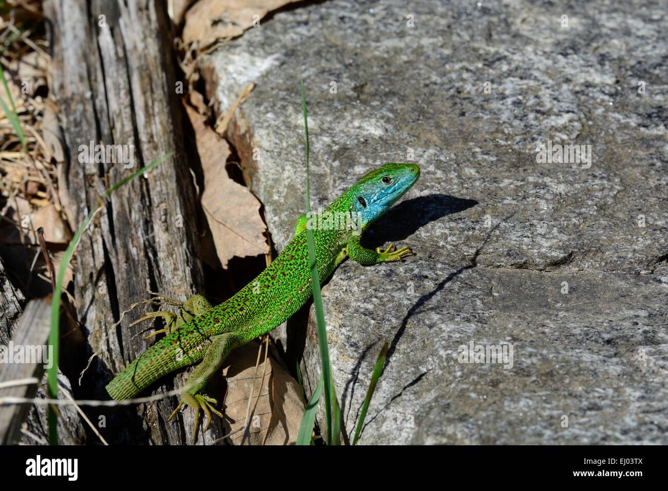 European Green Lizard, Lacerta viridis, Lacertidae, Lizrard, reptile, animal, Castello de Serravalle, Semione, Bleniotal, Stock Photo