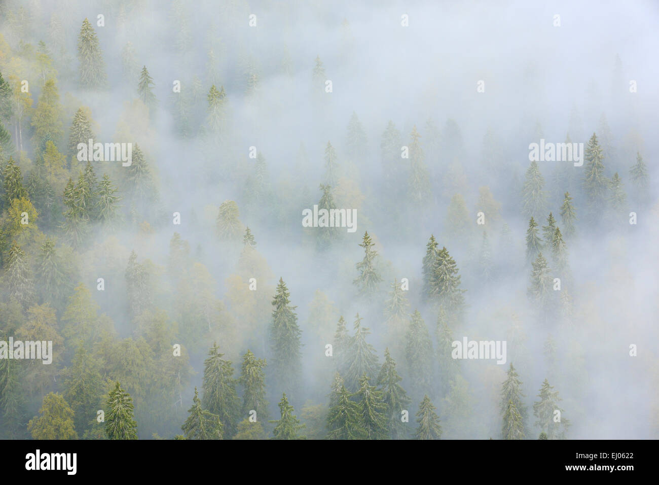 Tree, trees, spruce, spruces, spruce forest, Jura, nature, fog, fog patches, canton Neuenburg, Neuenburg Jura, plant, - Stock Image