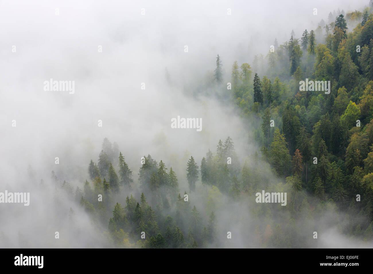 Tree, trees, spruce, spruces, spruce forest, Jura, nature, fog, fog patches, canton Neuenburg, Neuenburg Jura, plant, - Stock Image