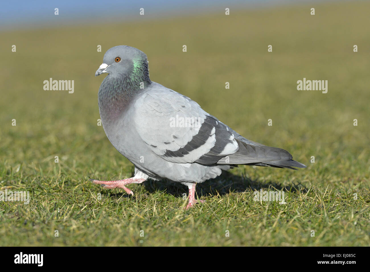 Feral Pigeon or Rock Dove - Columba livia - Stock Image