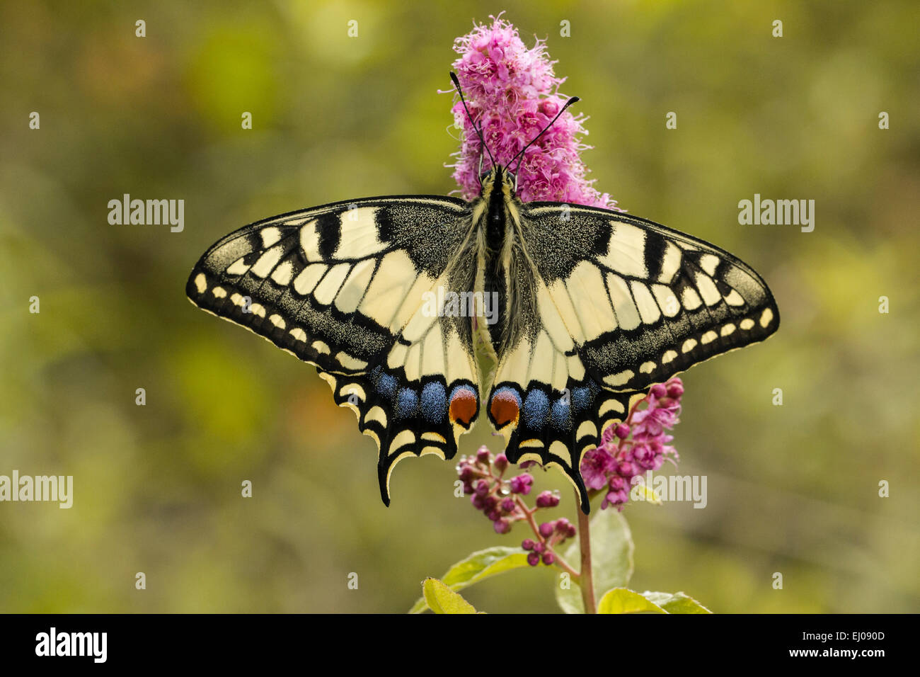 Animal, Butterfly, Insect, Lepidoptera, Old World swallowtail, Papilio machaon, Papilionidae, Swallowtail, Switzerland, - Stock Image
