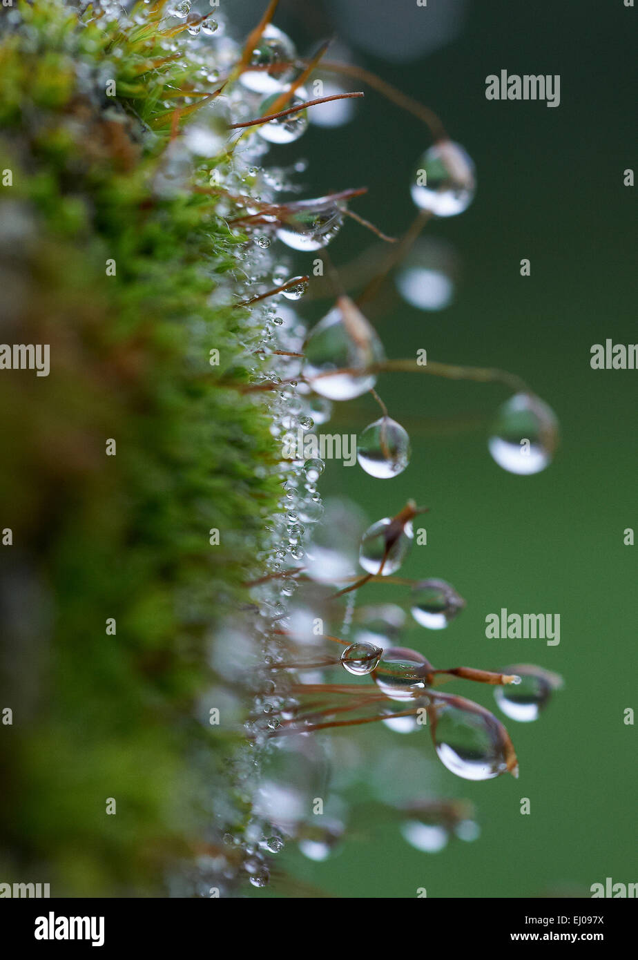 Water, dew, plant, drop, leaves, nature, dewdrop, humidity, moisture, - Stock Image