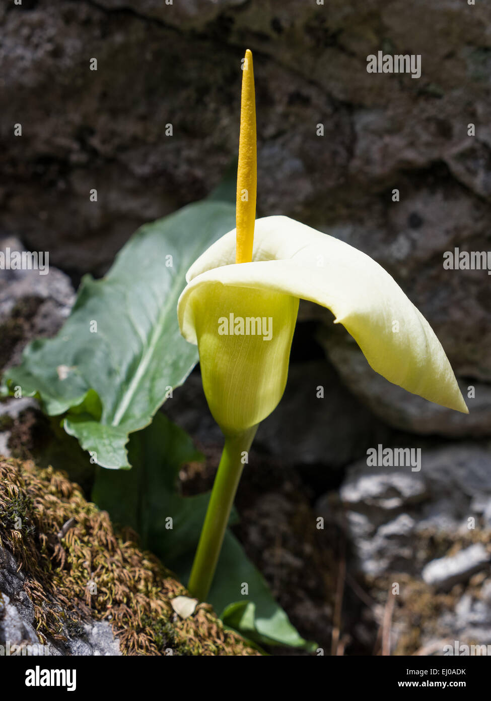 Araceae, arum, Arum creticum, blossom, flourish, flower piston, plant, Monocotyledons, flora, Yellow, piston, Kretischer Stock Photo