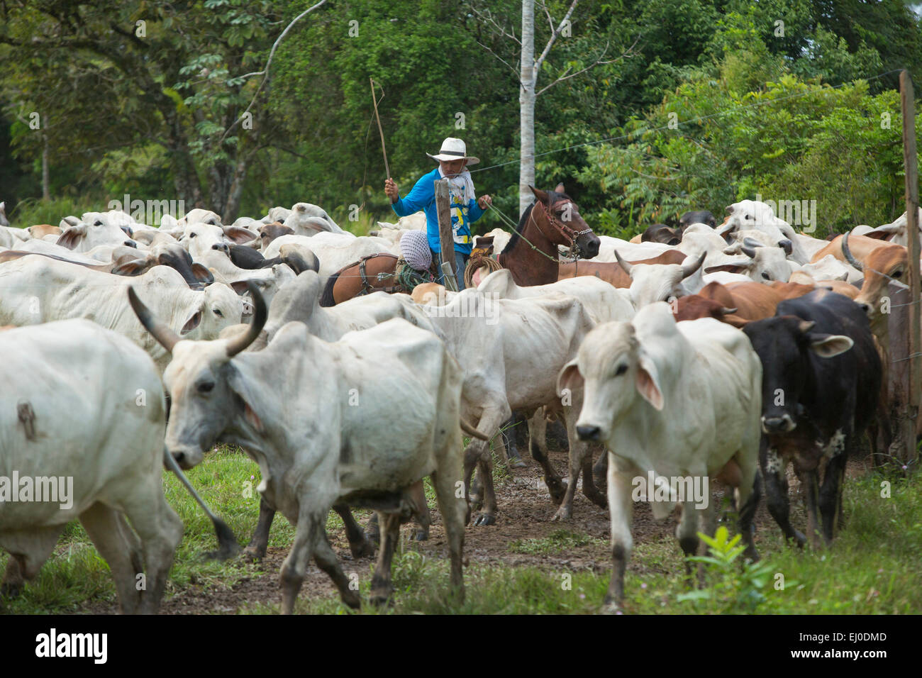 South America, Latin America, Colombia, cattle breeding, cattle, Gauchos, - Stock Image