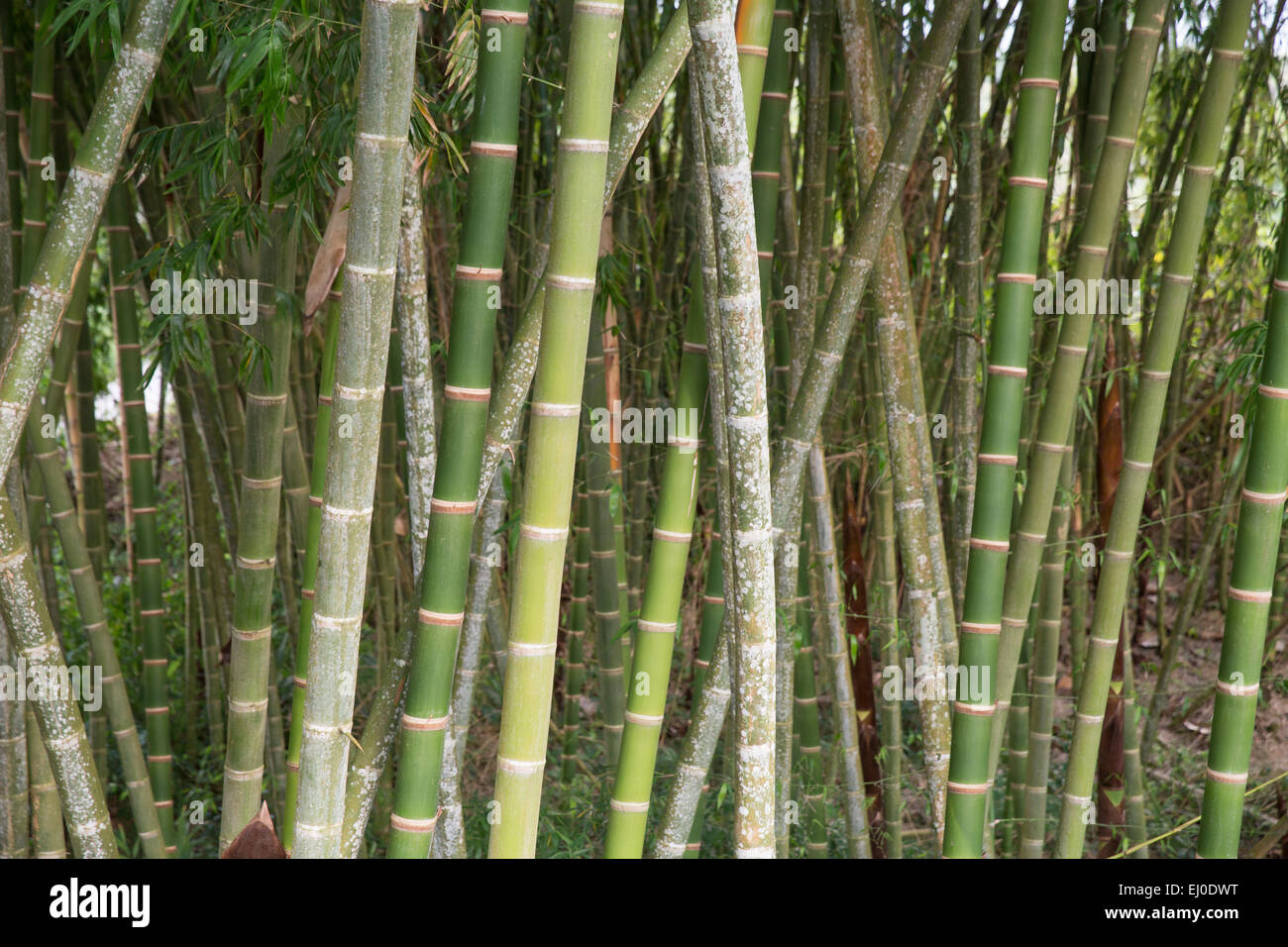 South America, Latin America, Colombia, bamboo, plant, bamboo canes, - Stock Image