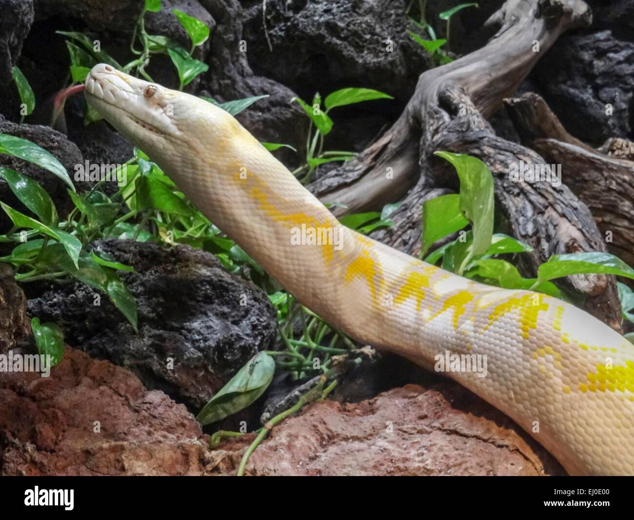 albino, carnivores, constricting, Dallas Zoo, non venomous, Python reticulatus, Reptile, Reticulated Python, Southeast - Stock Image