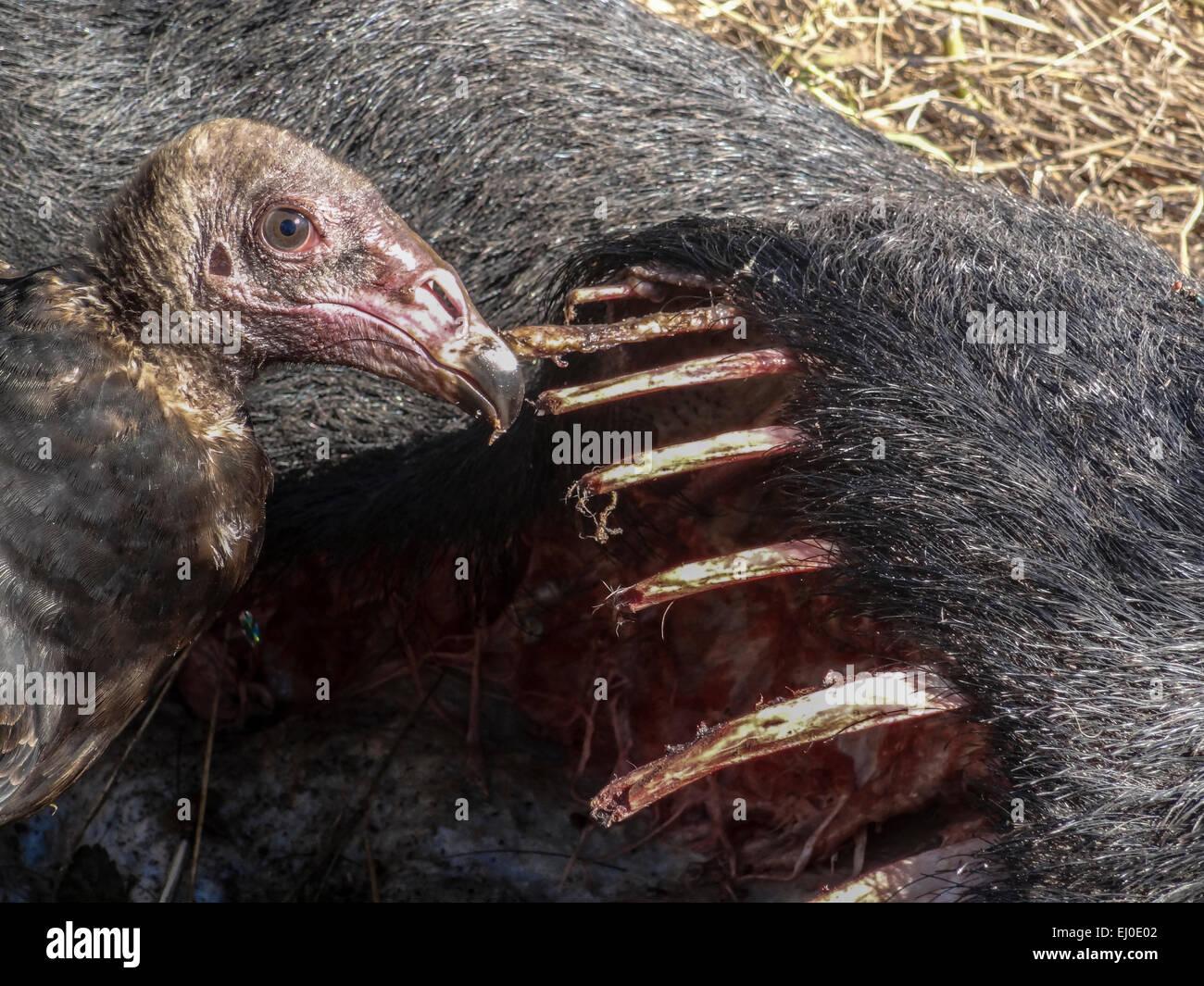 animal, carcass, Carnivora, corpse, dead, Feral hog, Hagerman, National, Wildlife, Refuge, Lake Texoma, pig, remains, - Stock Image