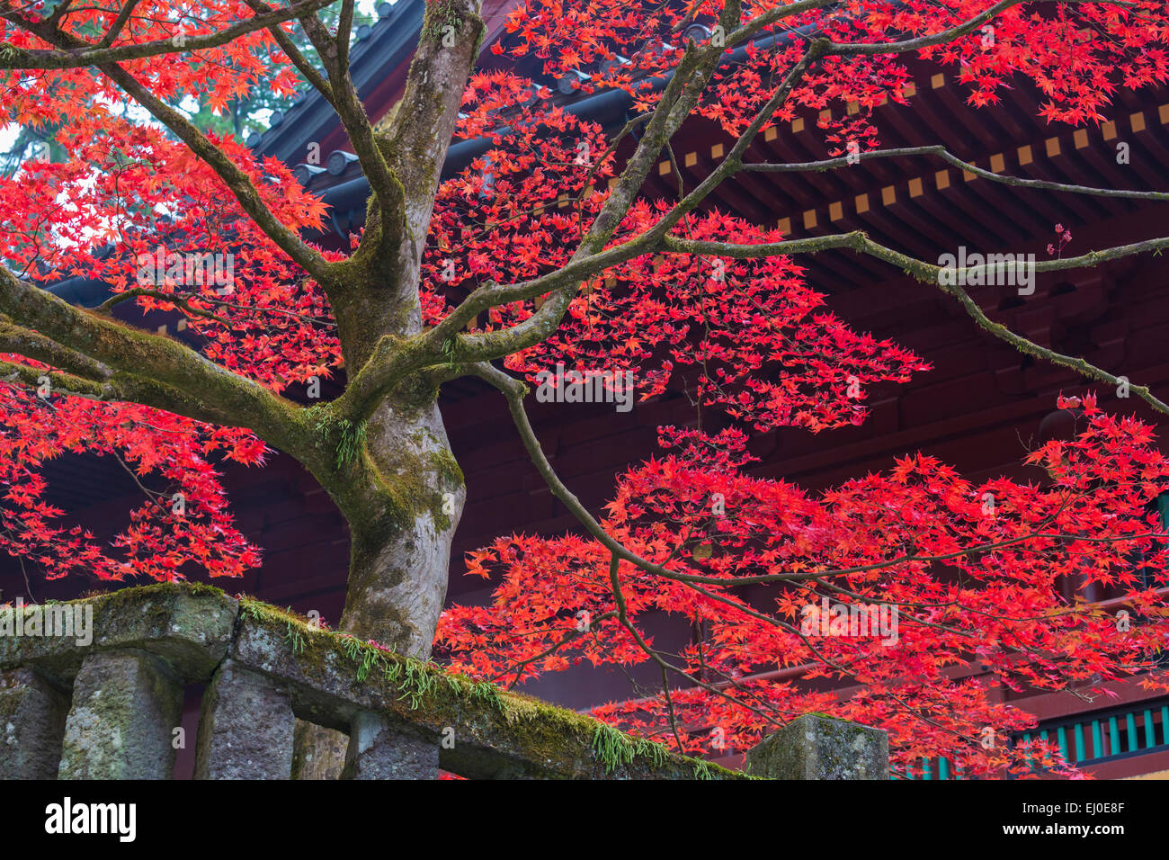 Japan, Asia, Nikko City, Shrine, autumn, colours, complex, fall, history, momiji, no people, red, toshogu, touristic, - Stock Image