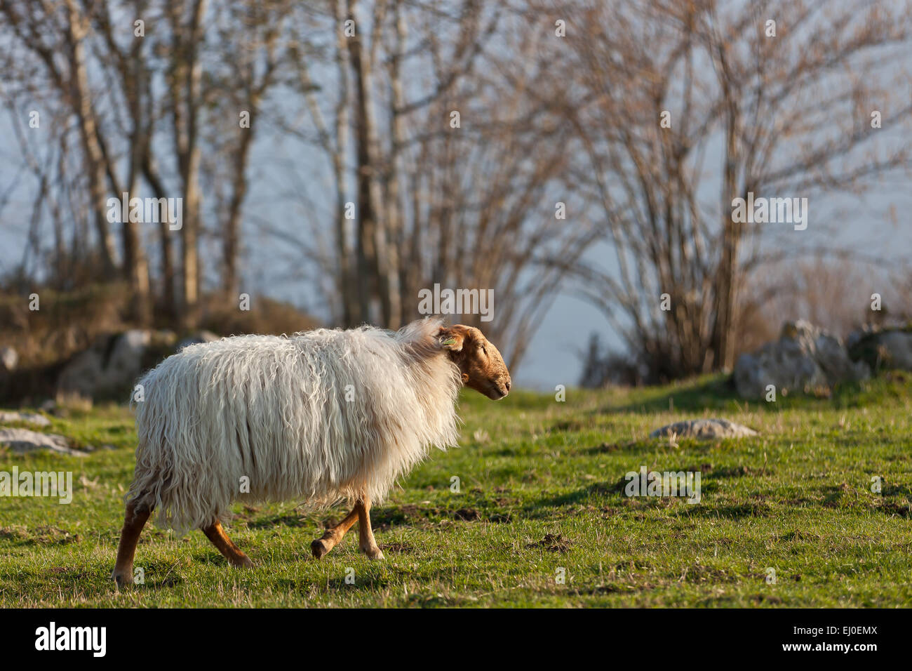 A sheep in Asiego, near the Picos de Europa National Park, Asturias, Spain. - Stock Image
