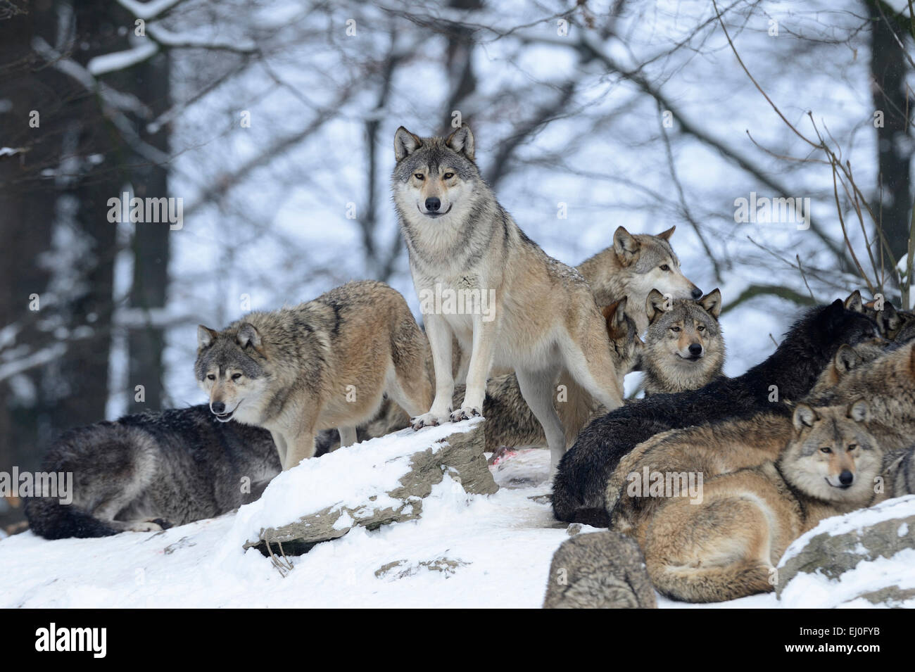 Wolf, animal, predator, wolves, predators, gray wolf, canids, Canis lupus lycaon, Germany, Europe, Stock Photo