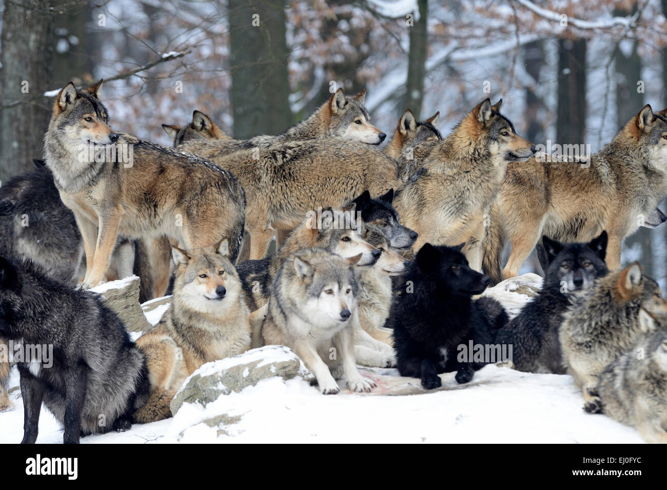 Wolf, animal, predator, wolves, predators, gray wolf, canids, Canis lupus lycaon, Germany, Europe, - Stock Image