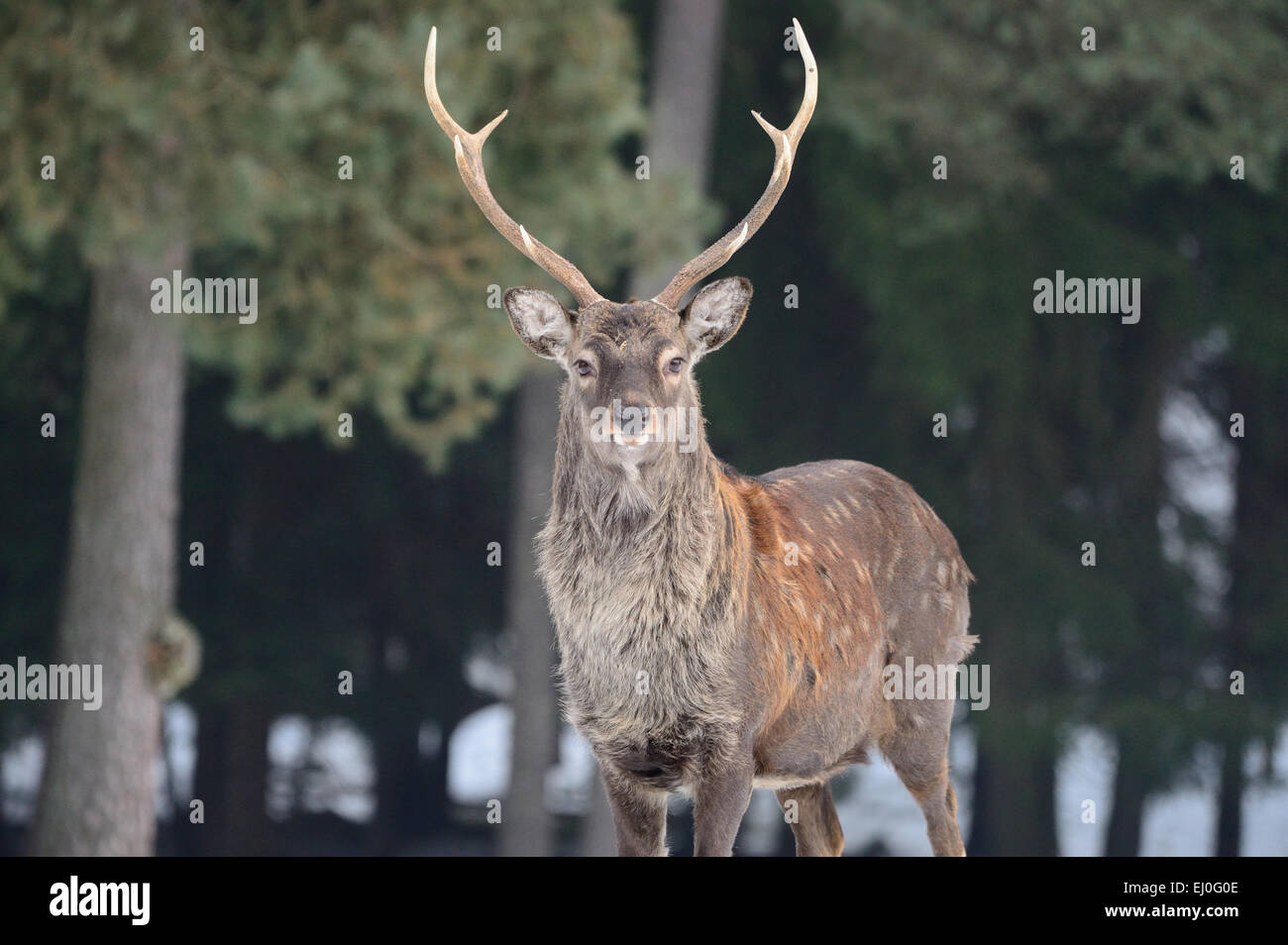 Sika, animal, Tier, winter, Japanese deer, deer, stag, Cervus nippon, deer, stags, animals, wild animals, Asian - Stock Image