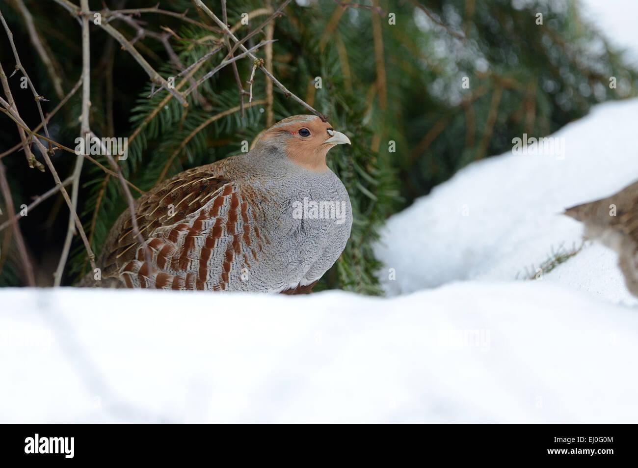 Partridge, Perdix perdix, chickens, hens, wild chickens, bird, Galliformes, partridges, bird, birds, winter, snow, - Stock Image