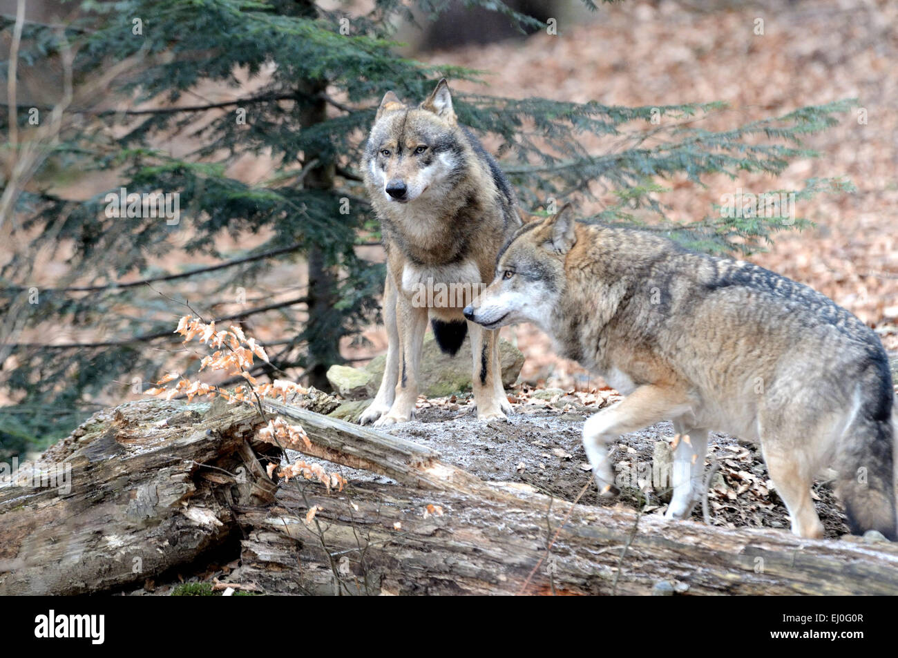 Wolf Germany wolf wolves wood forest two germany europe predators
