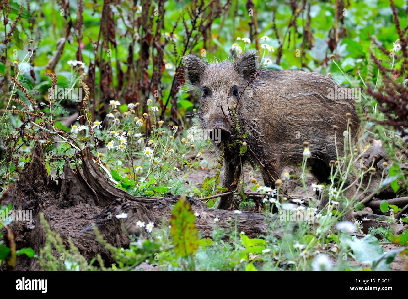 Wild boar, animal, Sus scrofa scrofa, sow, wild boars, black game, pigs, pig, vertebrates, mammals, real pigs, pigs, - Stock Image