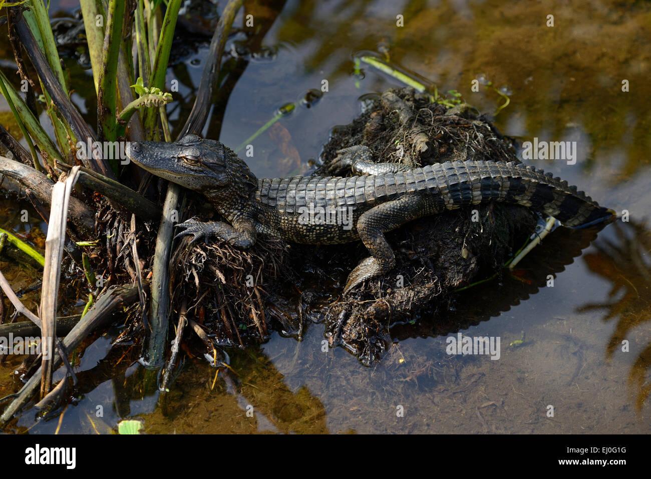 USA, Florida, Palm Beach County, Delray Beach, Wakodahatchee, Wetlands, Alligatoridae, young American alligator - Stock Image