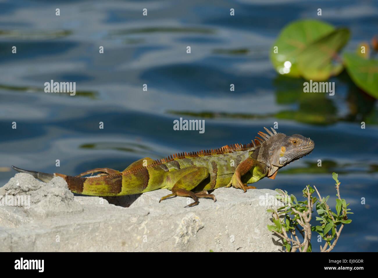 USA, Florida, Dade County, Miami Beach, Iguana - Stock Image