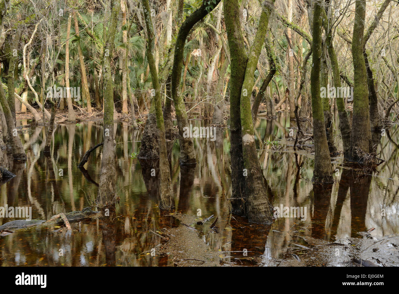 USA, Florida, Myakka River, State Park, swamp forest - Stock Image
