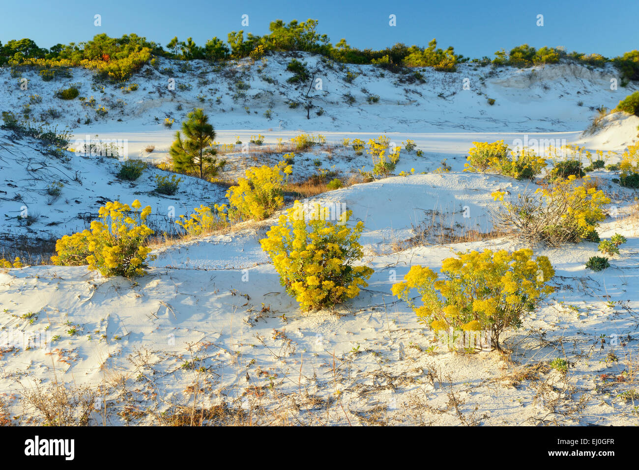 USA, Florida, Franklin County, Gulf of Mexico, Apalachicola, St. George Island, State Park, dune and rabbit brush Stock Photo