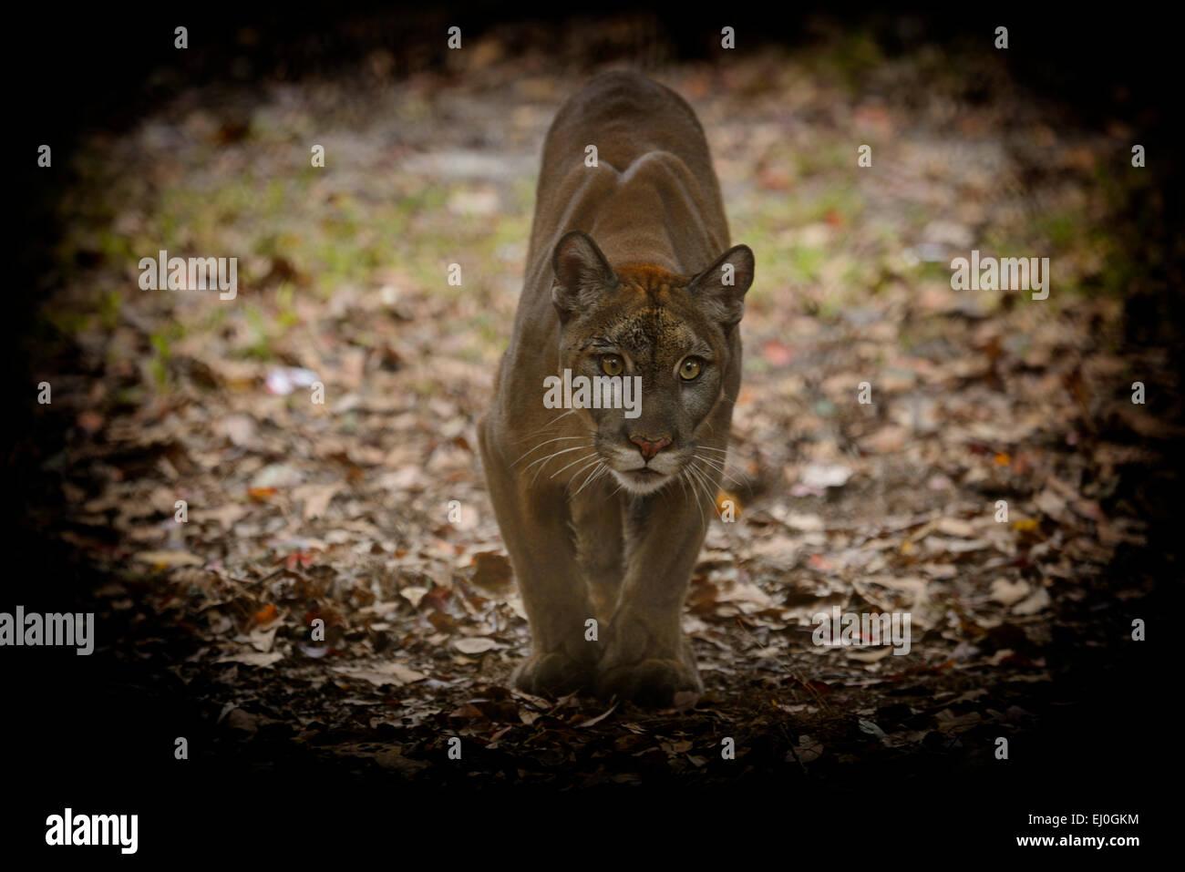 USA, Florida, Tallahassee, Panhandle, Puma concolor coryi, Florida panther in Tallahassee museum, captive Puma - Stock Image