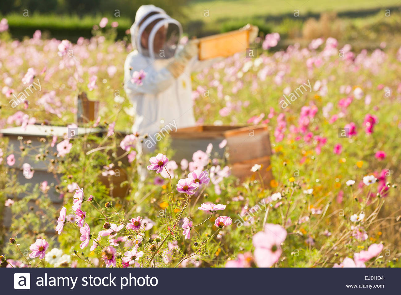 Beekeeper Checking Honey On Beehive Frame In Field Full Of