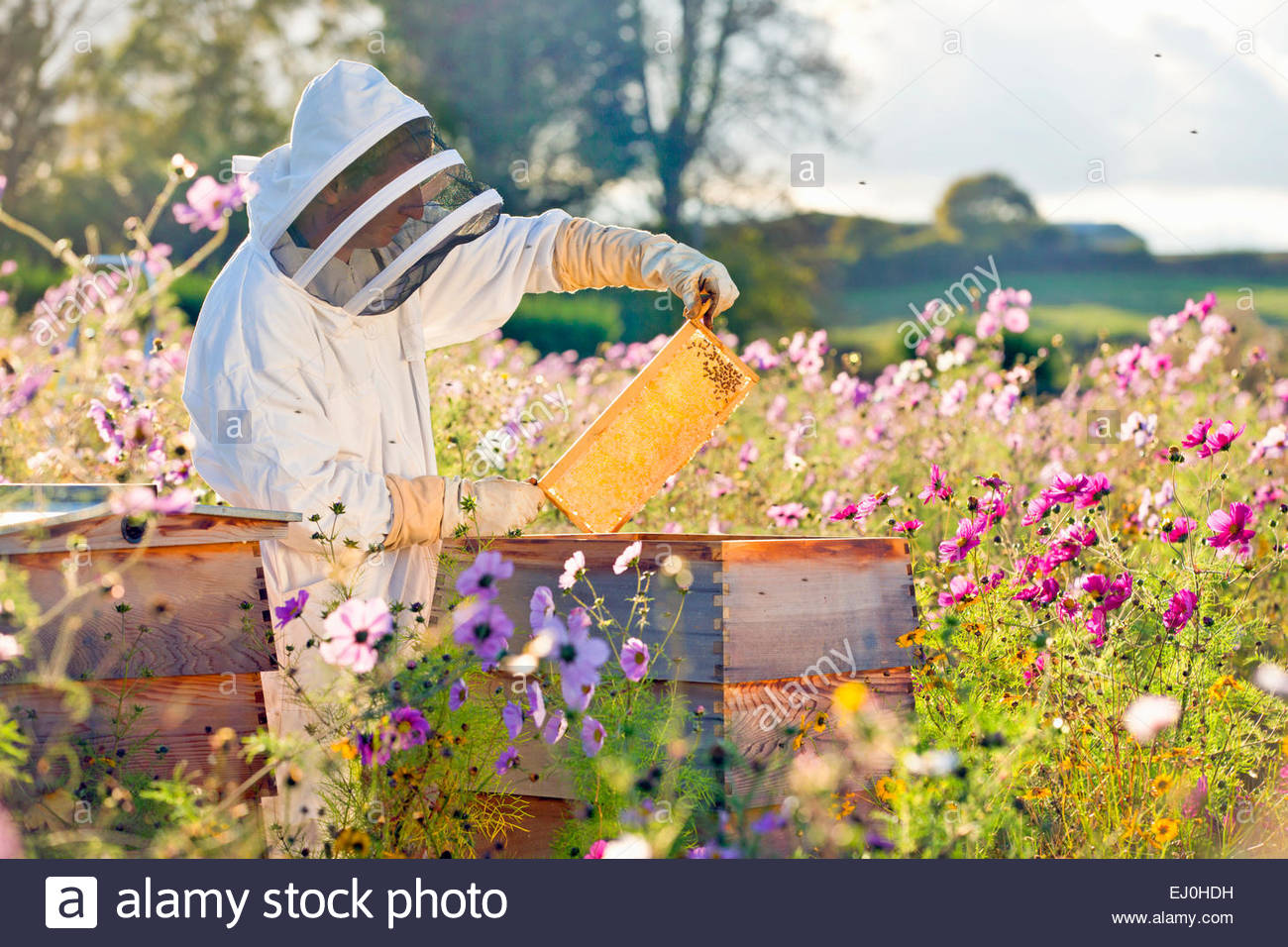 Beekeeper checking honey on beehive frame in field full of flowers - Stock Image
