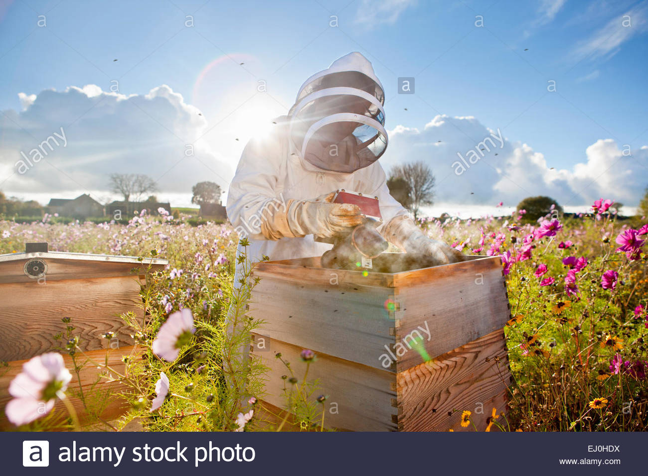 Beekeeper using smoker to check beehives in field full of flowers - Stock Image