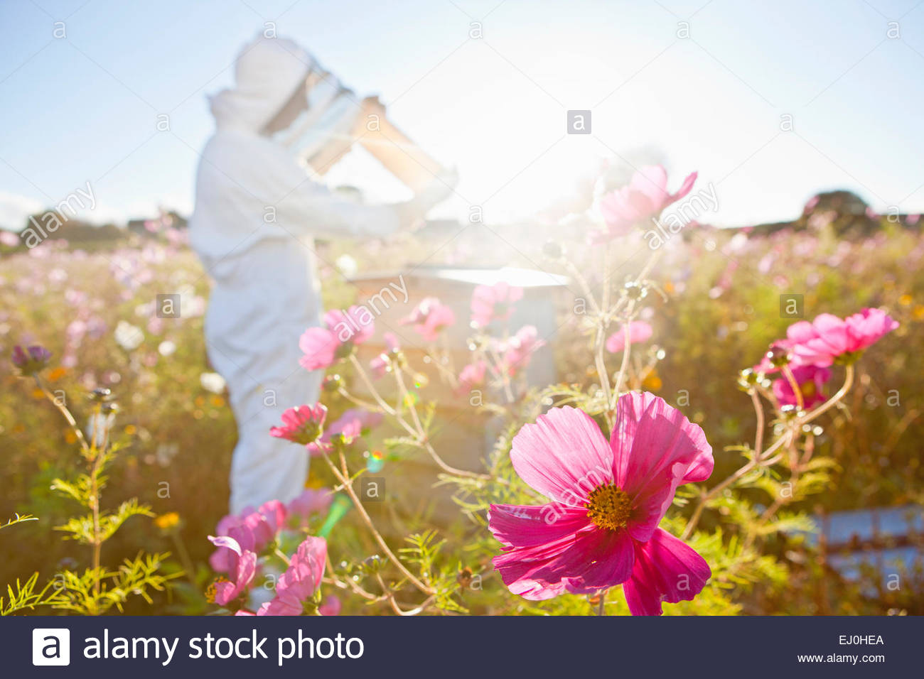 Beekeeper, holding beehive frame of honey up to the sun, in field full of flowers - Stock Image