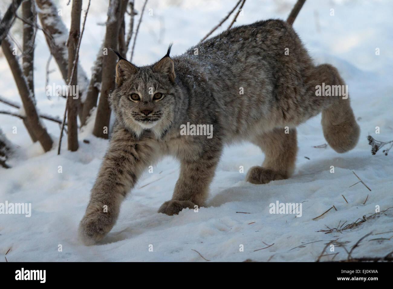 canada lynx, lynx canadensis, Yukon, Canada, lynx, animal, winter ... for Lynx Vs Bobcat  589ifm