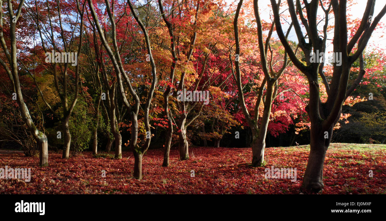 Autumn trees; Bodnant, Conwy, North East Wales - Stock Image