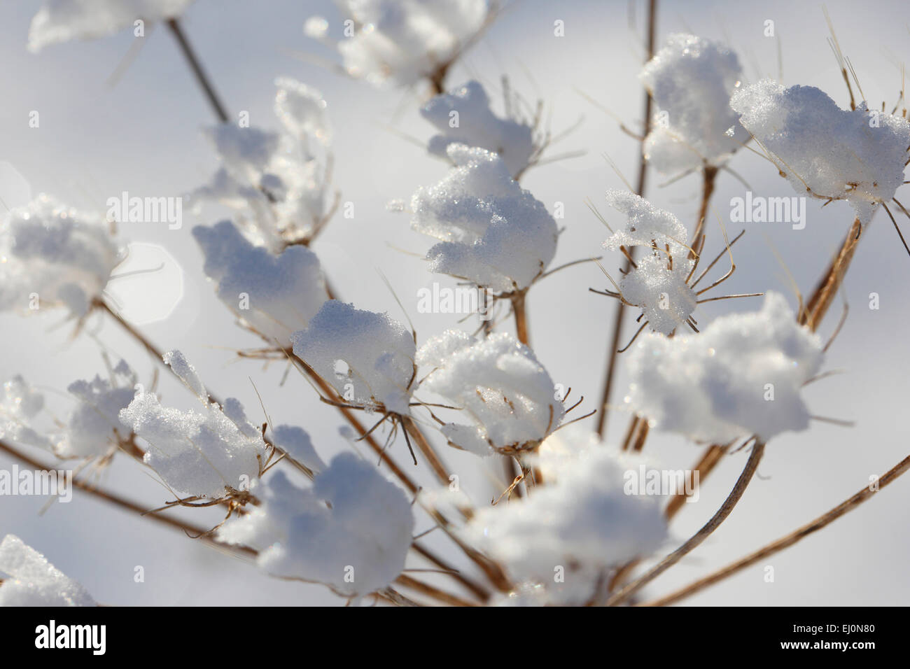 Detail, ice, frost flowers, chervil, cold, macro, pattern, close-up, plant, snow, Switzerland, Europe, vegetation, - Stock Image