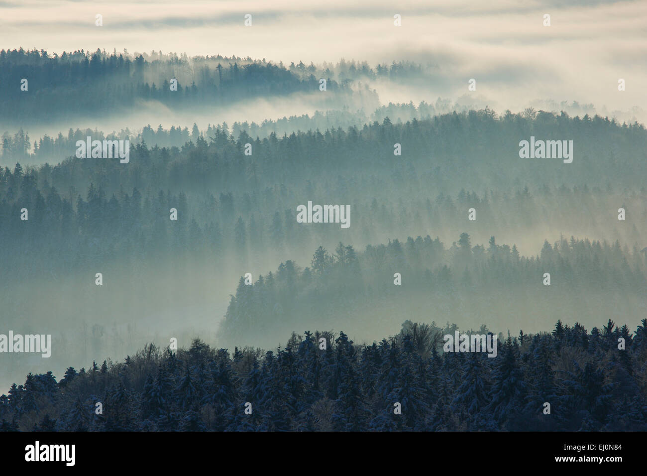 Tree, trees, pines, cold, midland, conifer, coniferous forest, nature, fog, fog patches, silhouette, snow, swath, - Stock Image