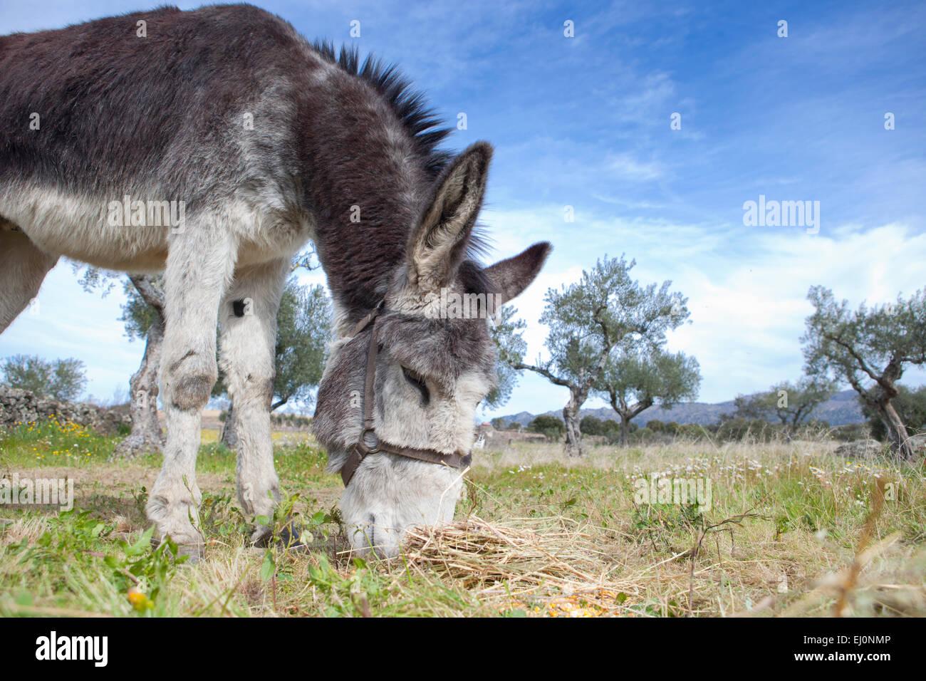 Funny small spanish grey donkey grazing on the grass Stock Photo