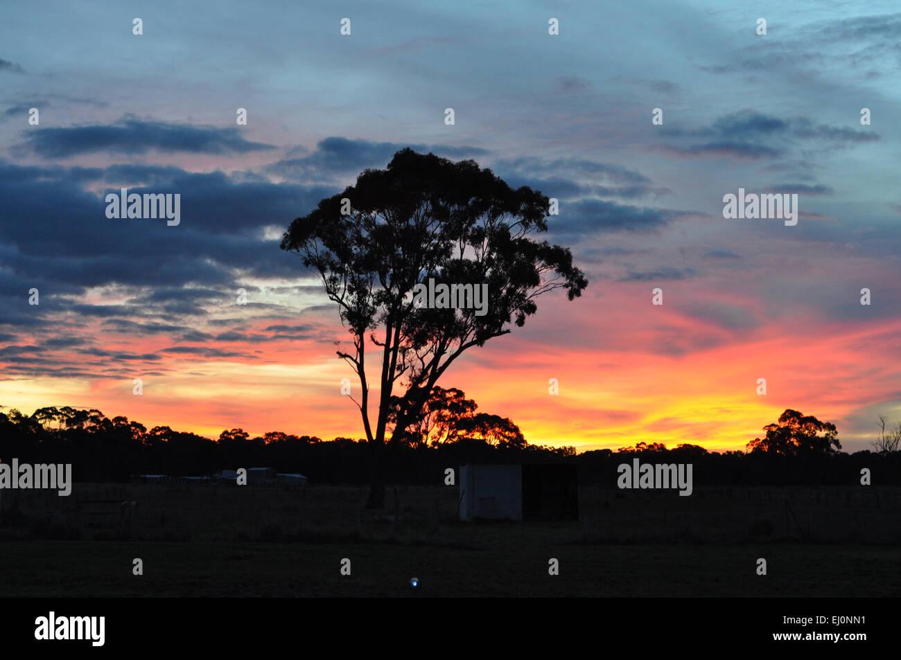 Silhouette of eucalyptus tree against bright coloured sunset in rural Australia. - Stock Image