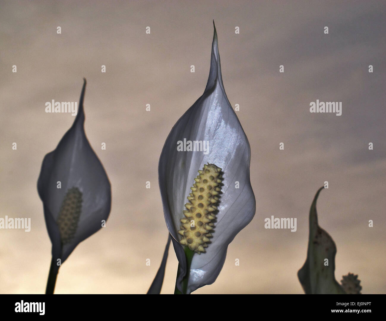 Flower, Spatiphyllum, sombre, gloomy, grief, gray, concepts, symbol, abstract, - Stock Image