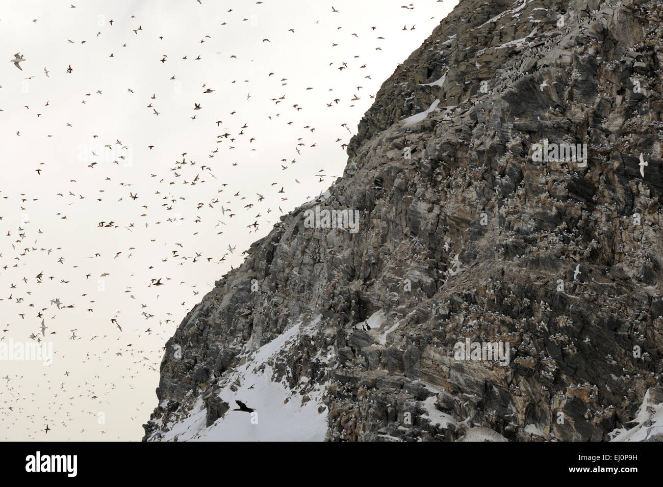 Atlantic Puffins (Fratercula arctica) and Guillemots (Uria aalge)returning in large amounts back to their breeding - Stock Image
