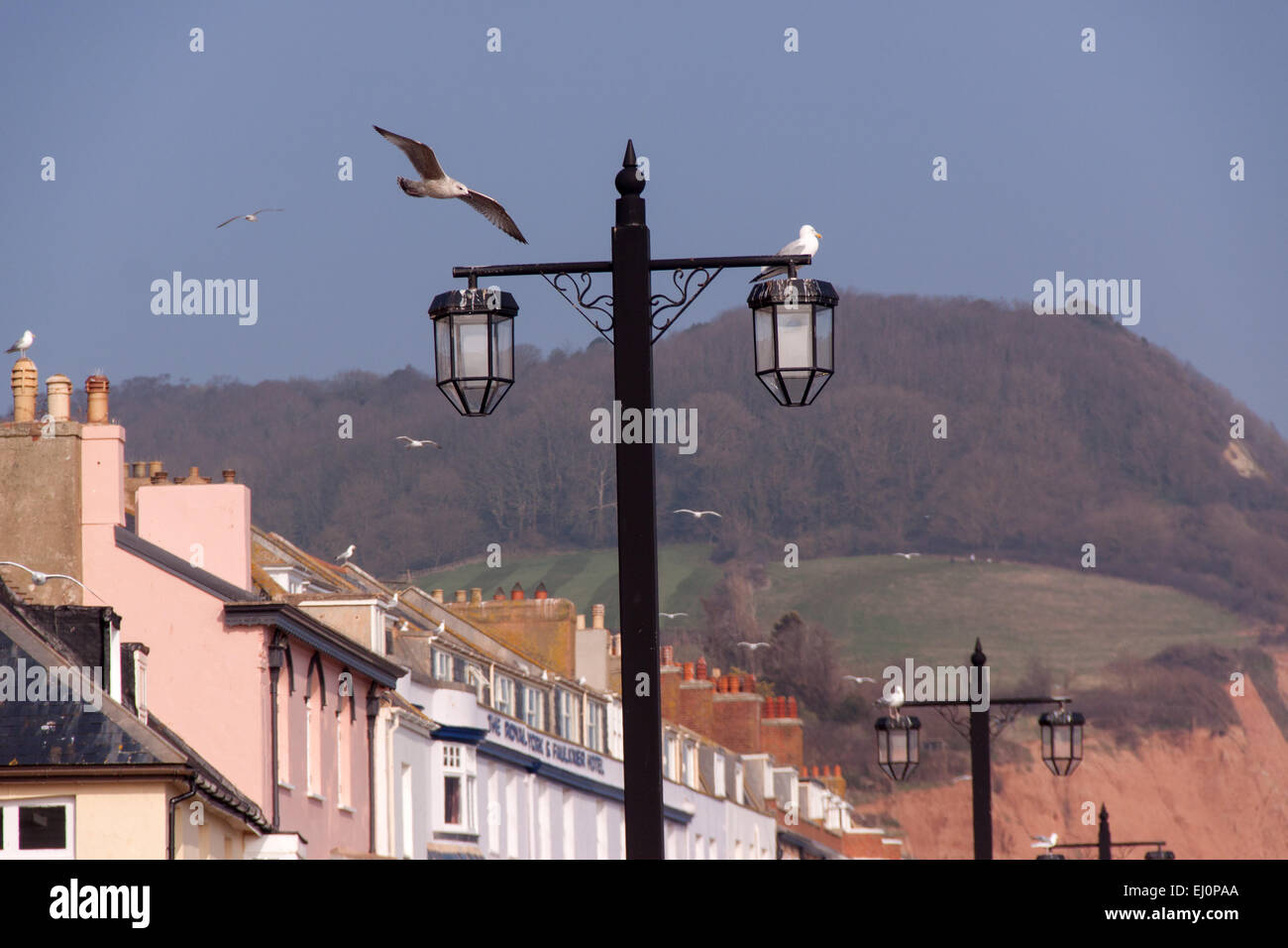 Seagulls on the esplanade at Sidmouth, Devon - an ongoing problem in the town. Falconry is used to deter them. - Stock Image