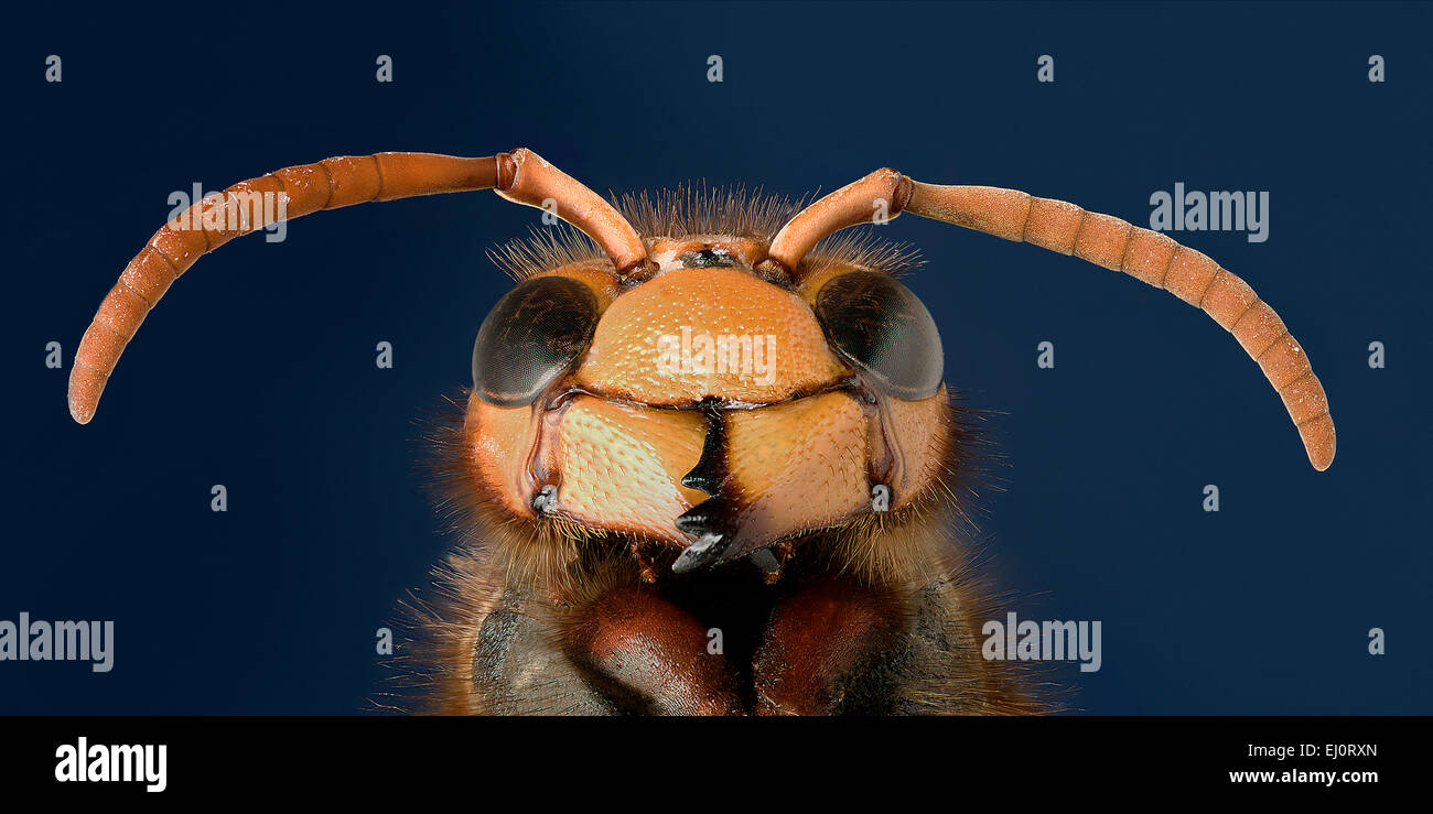 Vespa crabro, detail of the head - Stock Image