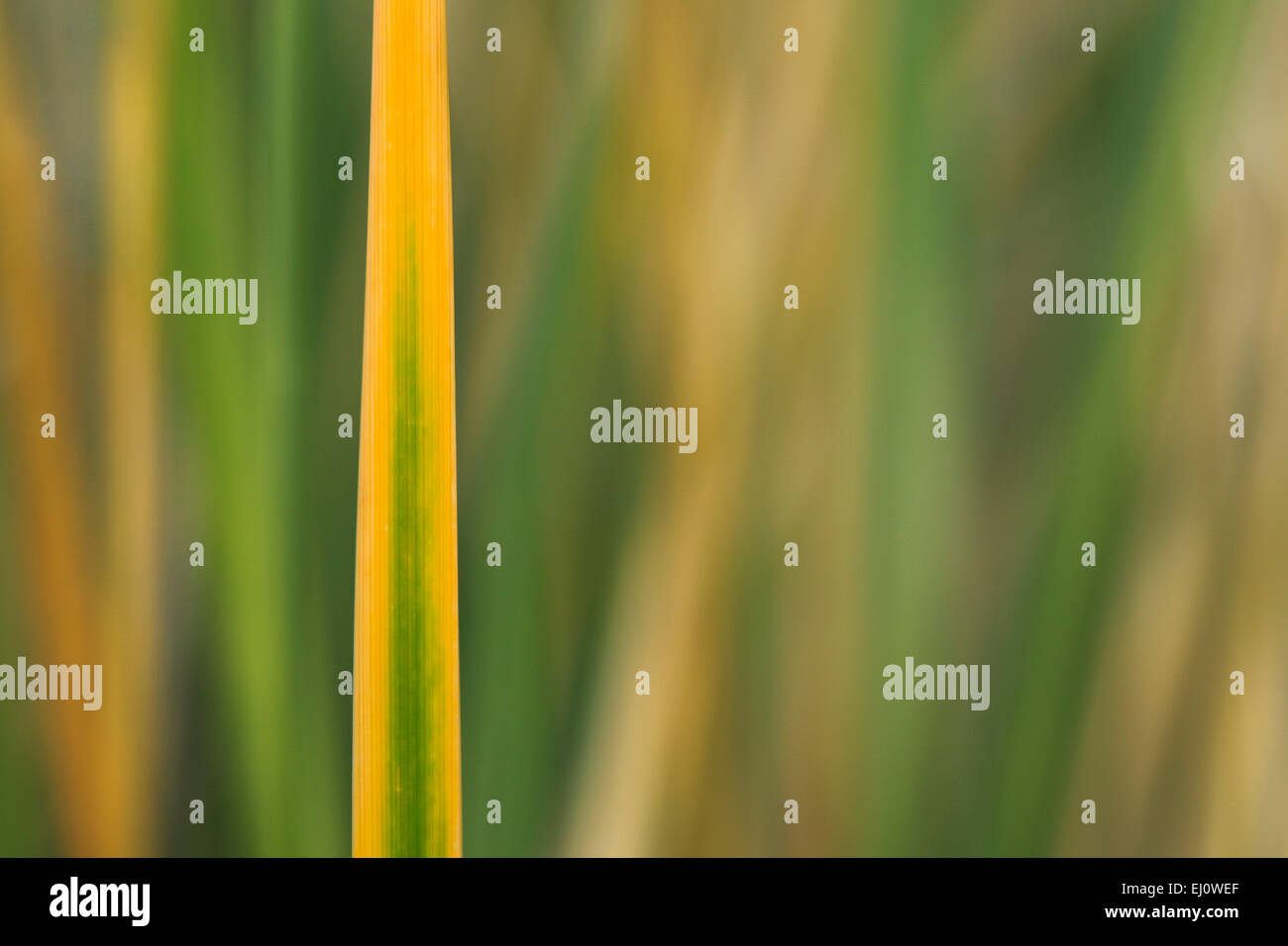 Detail, Germany, Europe, dune, dune grass, blade of grass, Helgoland, coastal vegetation, macro, sea, seashore, - Stock Image