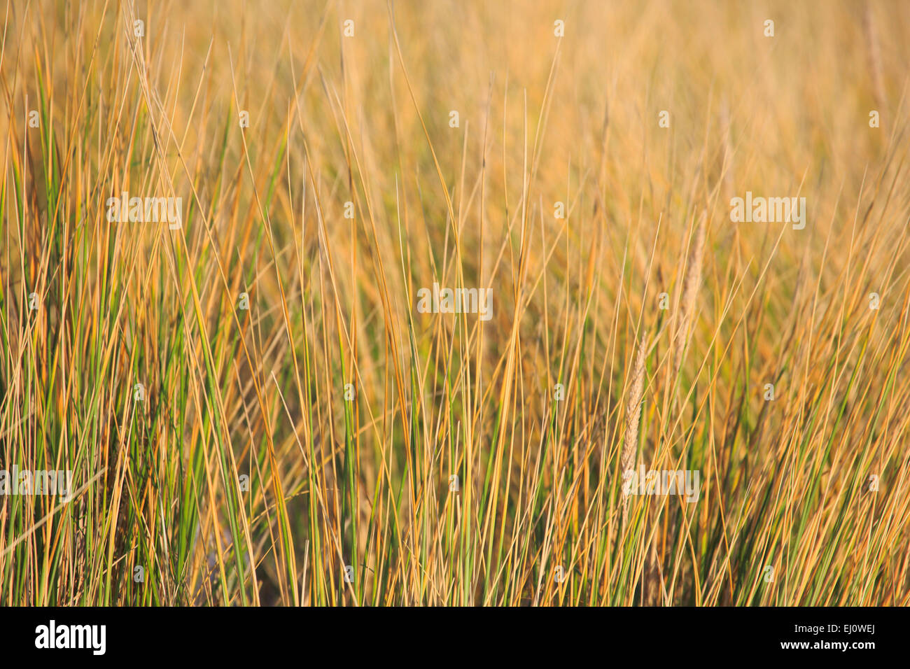 Germany, Europe, dune, dune grass, blade of grass, Helgoland, coastal vegetation, macro, sea, seashore, pattern, - Stock Image