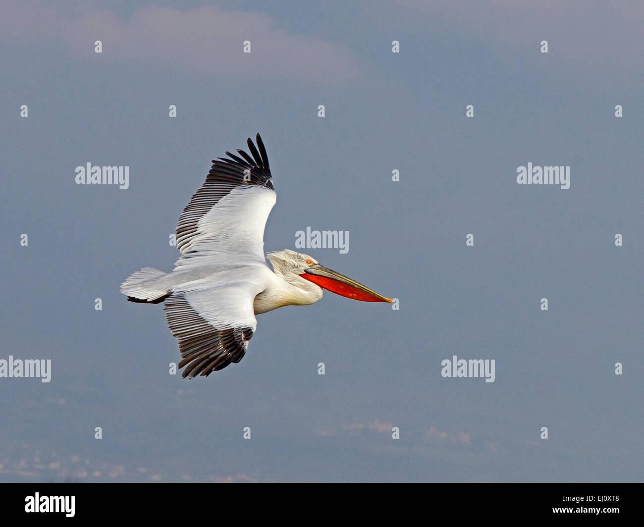 Dalmatian pelican in flight - Stock Image