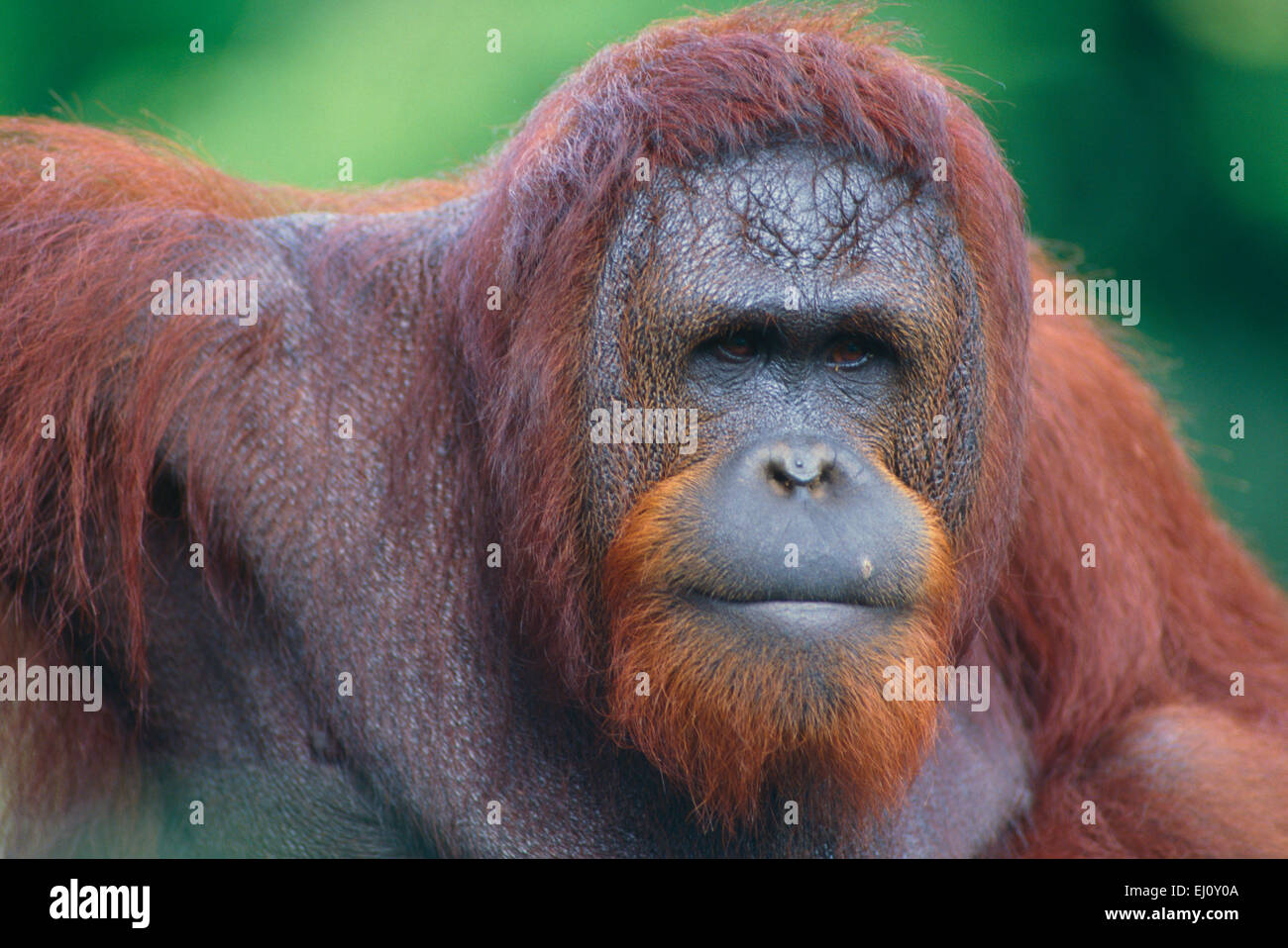 hominidae stock photos hominidae stock images alamy