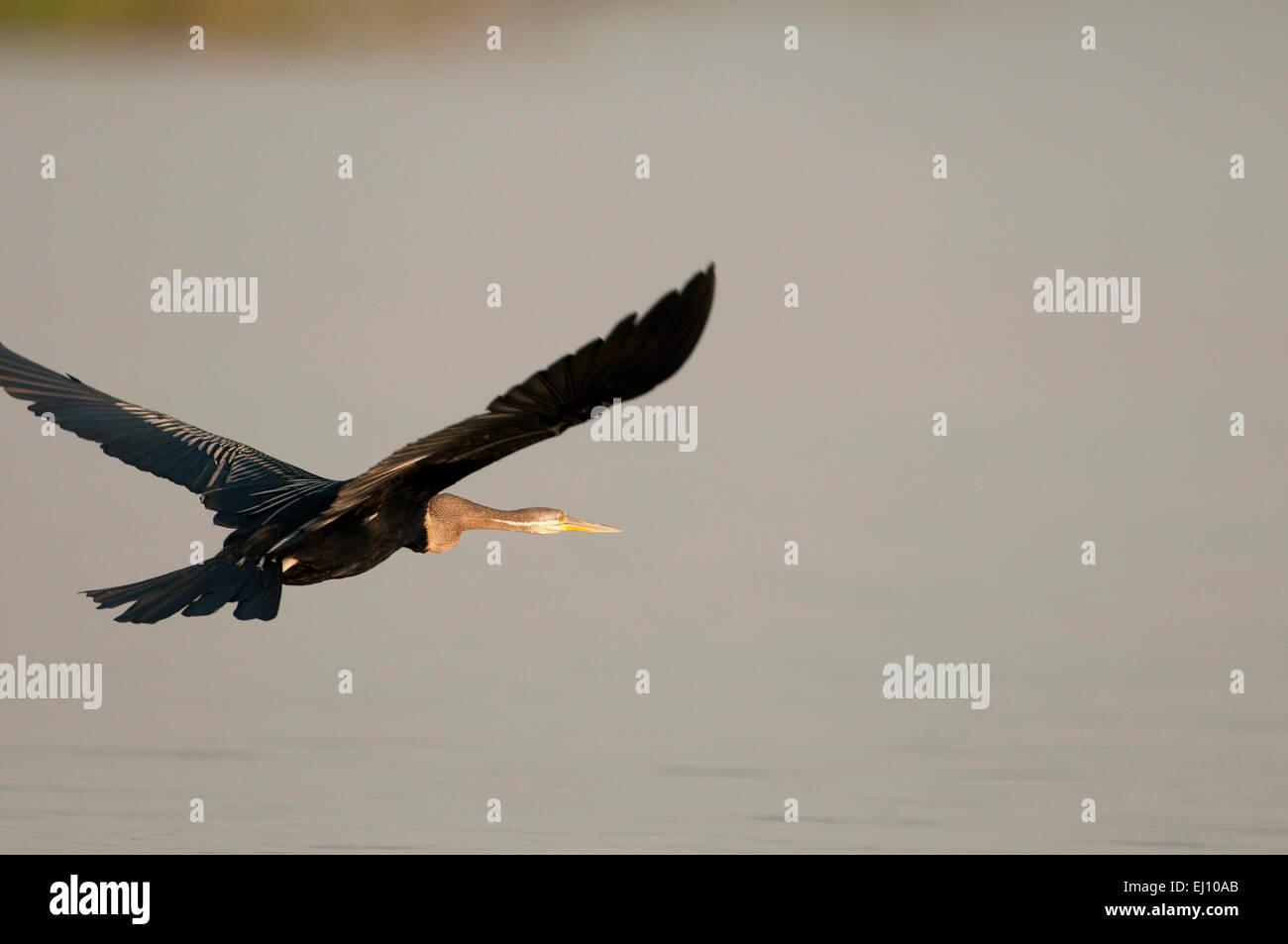 Oriental Darter, in flight, Thailand, Anhinga, bird, anhinga melanogaster - Stock Image