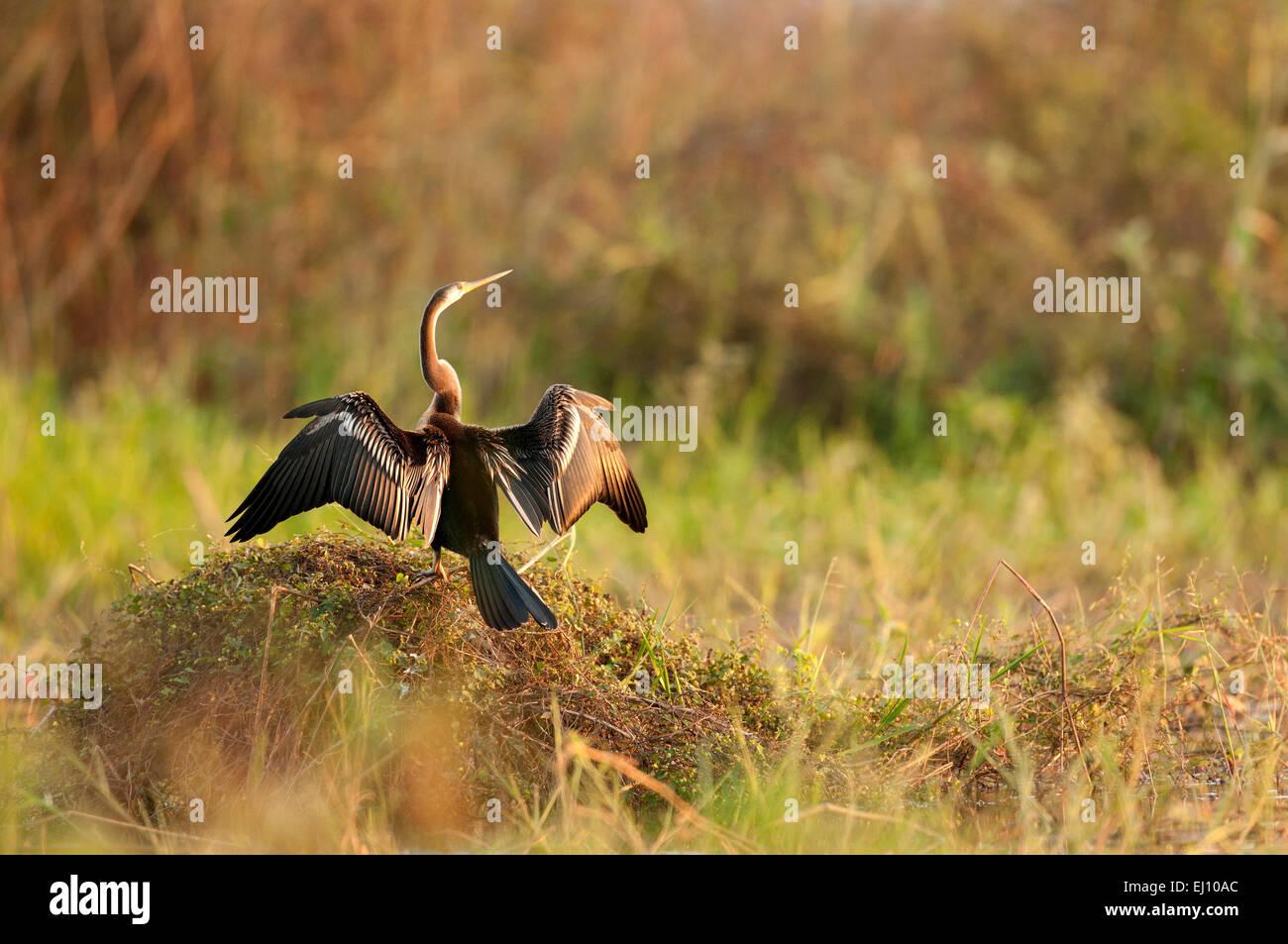 Oriental Darter, Thailand, Anhinga, bird, anhinga melanogaster - Stock Image