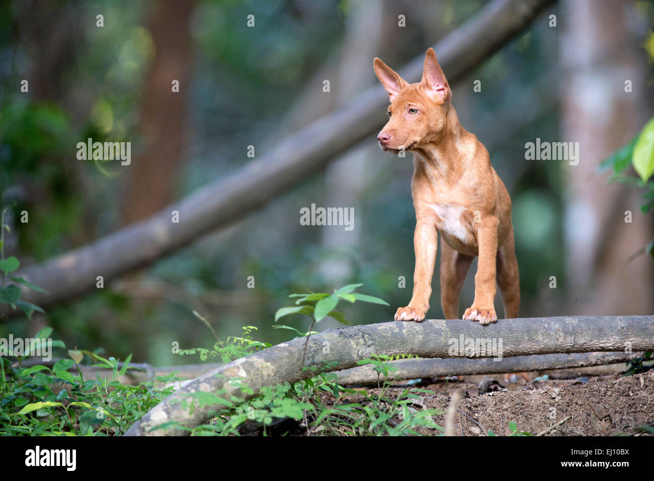 Dog of Thailand, Puppy, mammal, canis familiaris, young, dog, Thai Bankaew, - Stock Image
