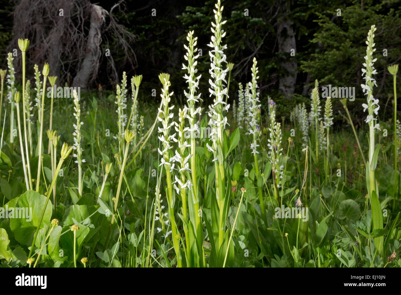 OR01709-00...OREGON - White bog orchid growing in meadow near Todd Lake in the Deschutes National Forest near Bend. - Stock Image