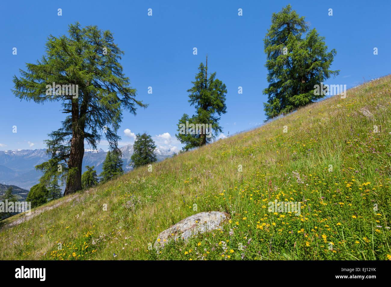 Prarion, Switzerland, Europe, canton, Valais, Wallis, larches, trees, - Stock Image