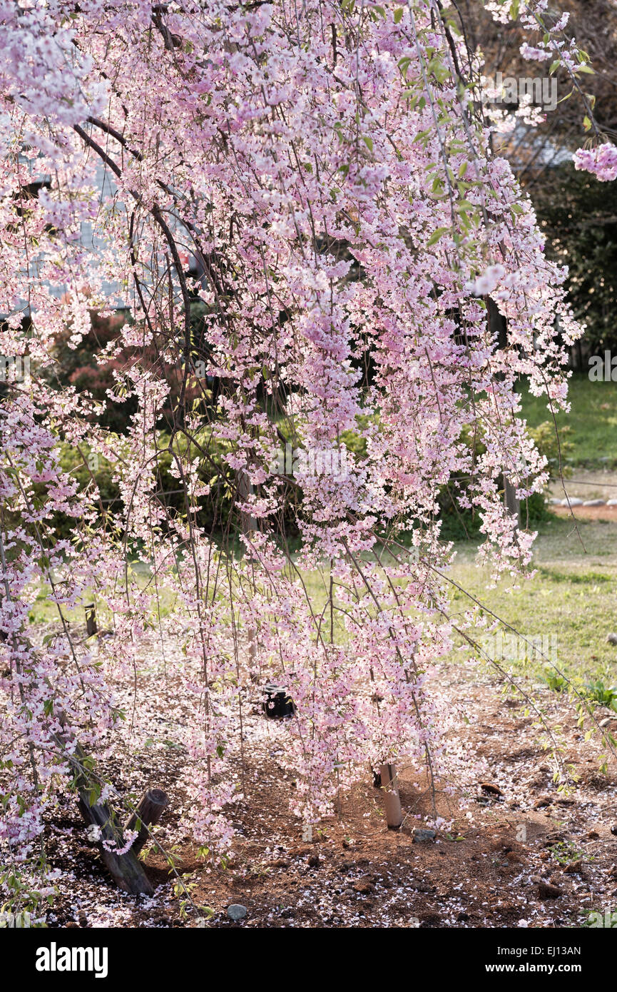 Kyoto, Japan. Weeping cherry blossom (prunus pendula) in early spring - Stock Image